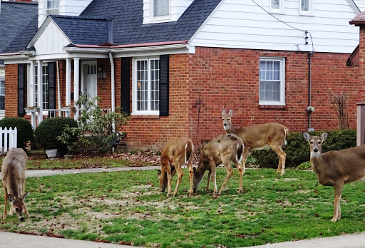 deers in the backyard of a house